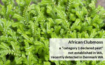 Biosecurity Alert – African Clubmoss