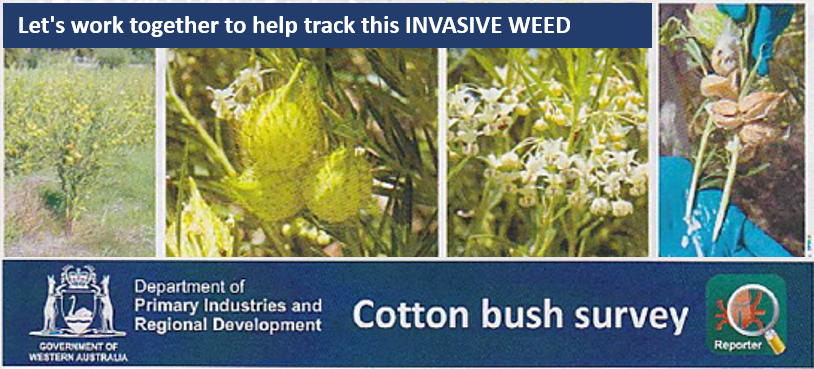 COTTON BUSH NOW – Please help map this invasive weed