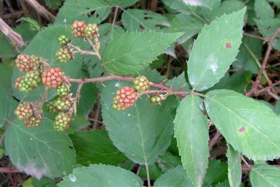 Ferguson River Blackberry Control Program Underway