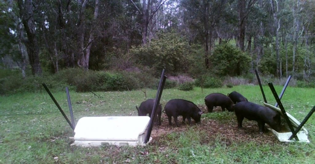 Feral Pigs Eating from HOGGONE Baiting System