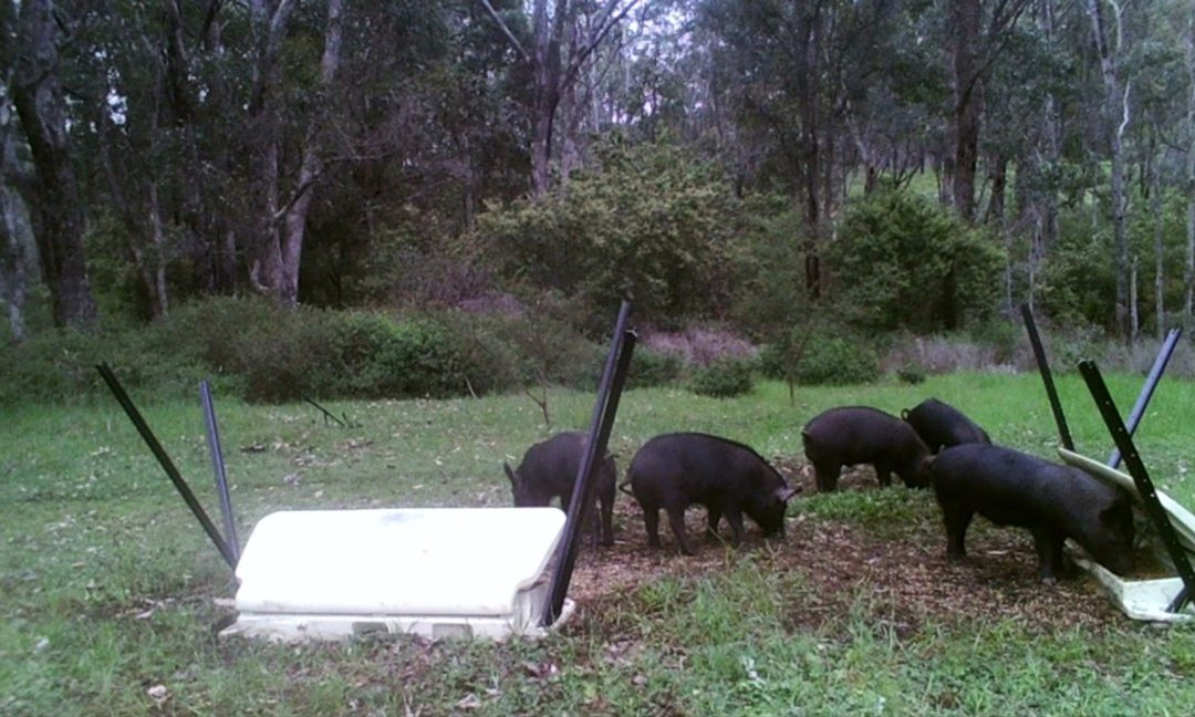 LBG and Landowners Working Together for Successful Trials of New HOGGONE® Feral Pig Management System