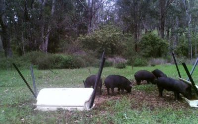 LBG and Landowners Working Together for Successful Trials of New HOGGONE® Feral Pig Management System