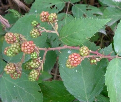 Blackberry Control Program for Private Properties in Shire of Capel – Request for Expressions of Interest
