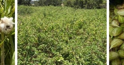 Thanks for Community Vigilance as 2020-21 Cotton Bush Control Season Comes to Close