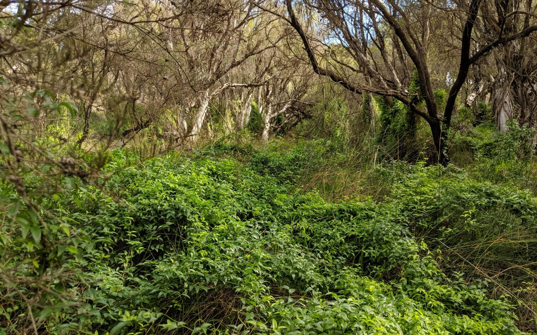 Bridal Creeper Control Program – Request for Expressions of Interest