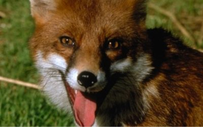 Fox Breeding Season Is Now!